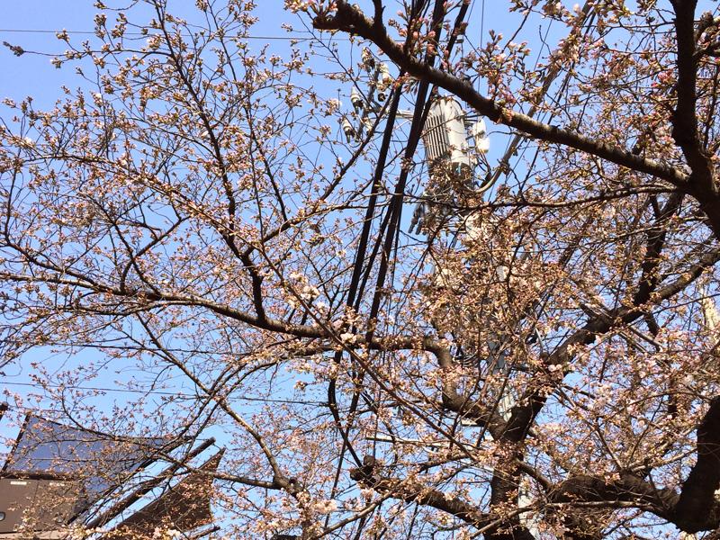 東京の桜開花