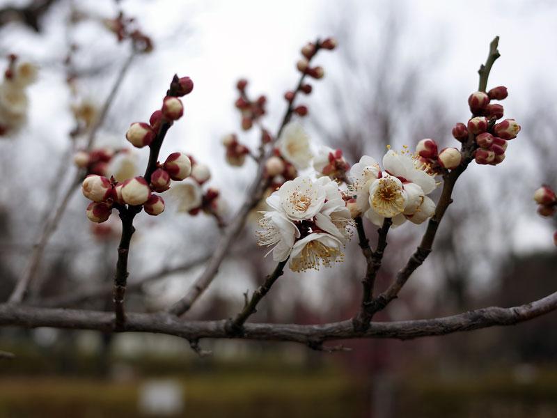 梅の蕾と花