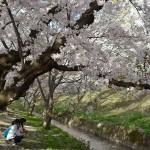 弘前城の桜3