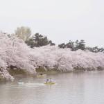 弘前城の桜1