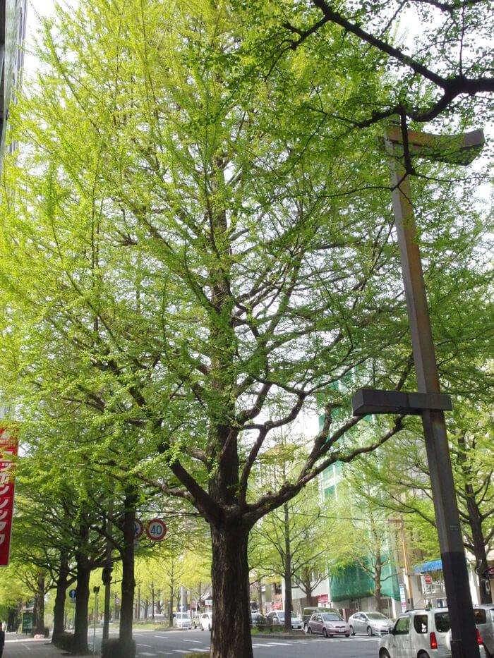 仙台の銀杏