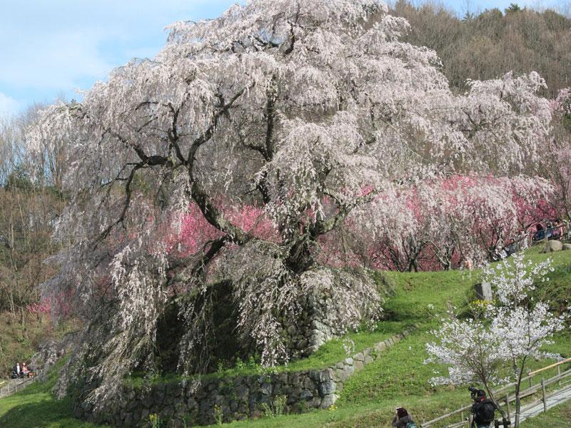 樹齢300年の又兵衛桜
