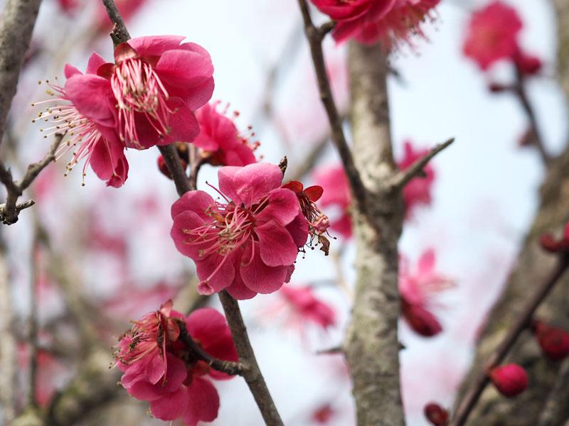 春を感じる博多