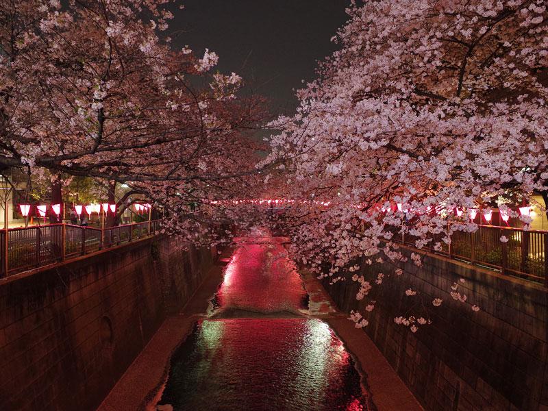 目黒川の桜まつり