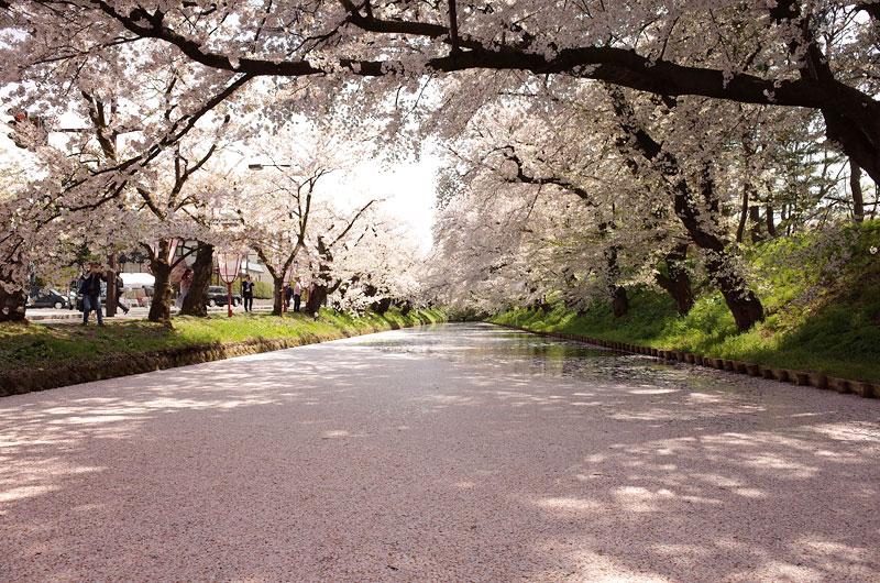 弘前公園の花筏