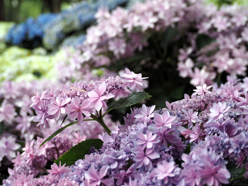 梅雨の紫陽花