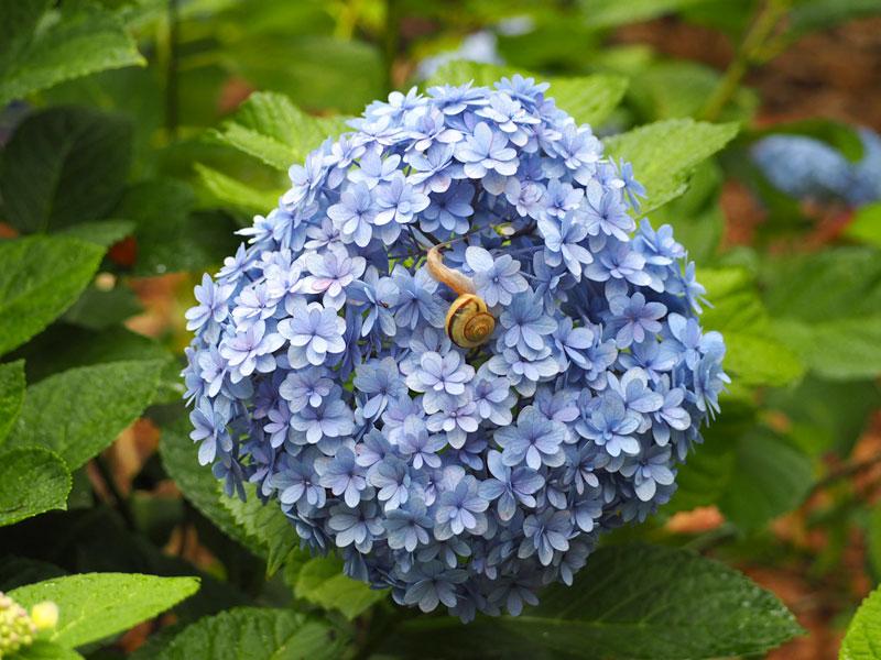 梅雨の紫陽花2
