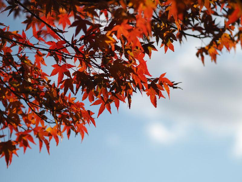真っ赤に染まった紅葉