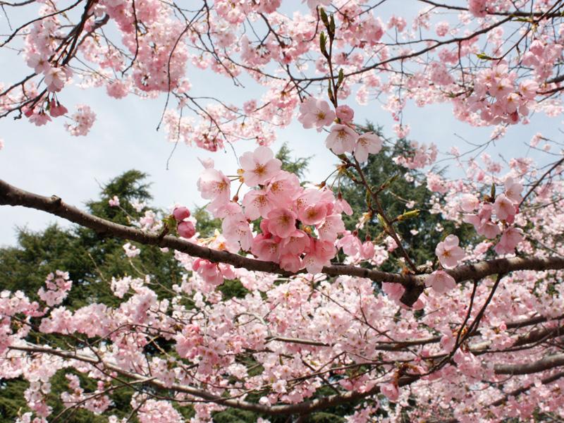 仙台店近くの桜の様子その2