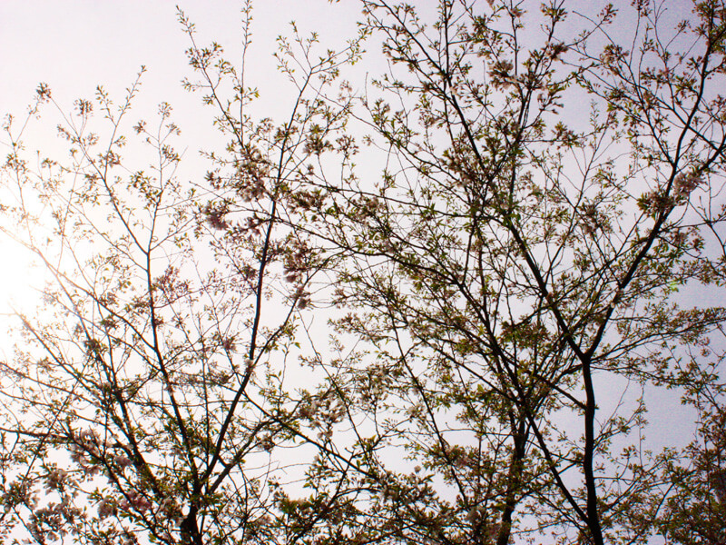 仙台店近く、錦公園の桜その1