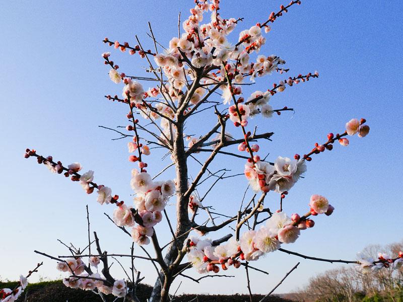 梅の花が咲き誇り、春らしい陽気