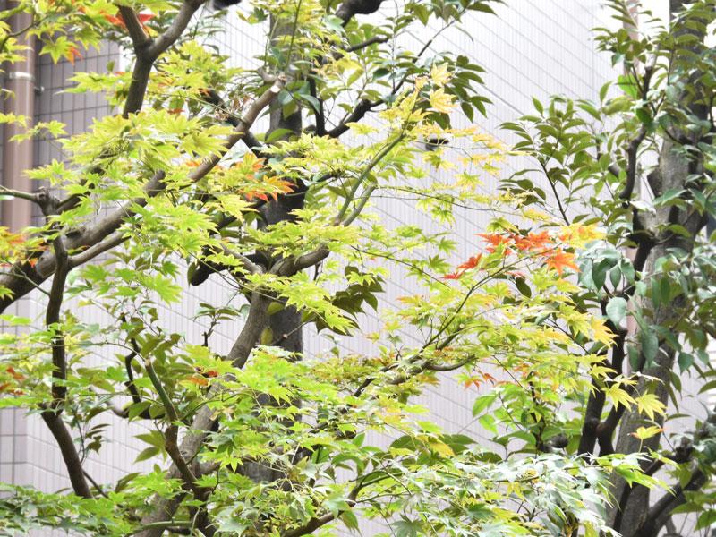 紅葉が始まったNET工房近くの植木