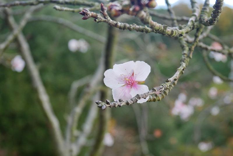 季節外れの桜の花