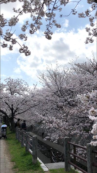 福岡の桜開花