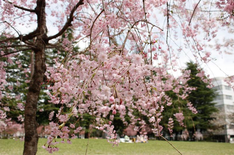錦町公園の桜2